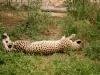 cheetah2_web