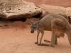 kangaroo_web